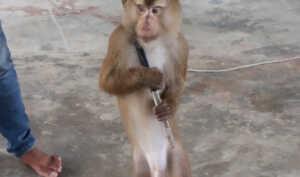 Шоу и театр обезьян на Самуи